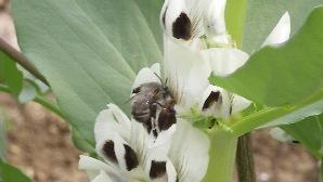 La fleur de fève + l'abeille!